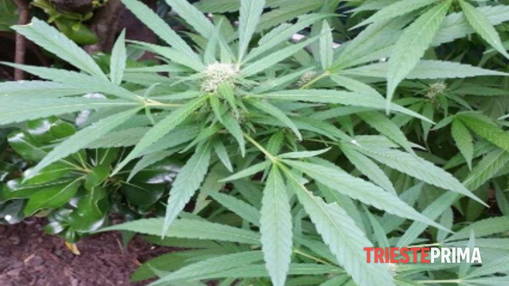 Ai domiciliari, tiene in casa una pianta di marijuana: denunciato