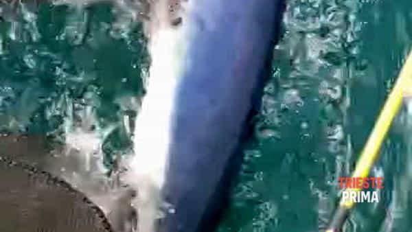 """A """"caccia"""" di seppie nelle acque del porticciolo, ecco la verdesca di Grignano (VIDEO)"""