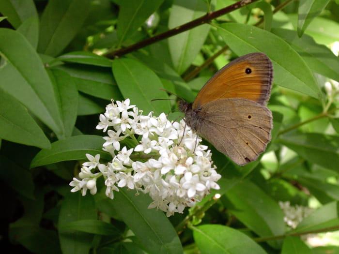 ligustro e farfalla_CDN-2